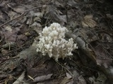 Clavulina coralloides image