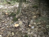 Cortinarius armillatus image