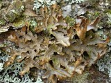 Pseudocyphellaria perpetua image