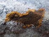 Caloplaca aurantia image