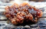 Hormomyces aurantiacus image