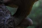 Pleurotus smithii image