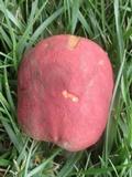 Boletus speciosus image