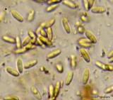 Rhizopogon brunneiniger image
