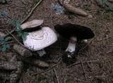 Agaricus benesii image