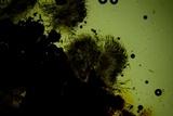 Hypoxylon crocopeplum image