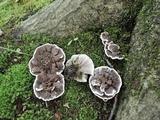 Phellodon confluens image