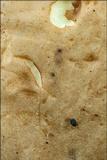 Boletus impolitus image