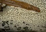 Ceriporia reticulata image