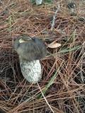 Retiboletus fuscus image