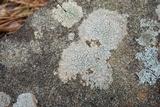 Pertusaria plittiana image