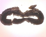 Geoglossum atropurpureum image