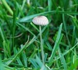 Parasola plicatilis image