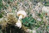 Amanita wellsii image
