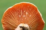 Lactarius salmoneus image