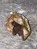 Bovista plumbea image