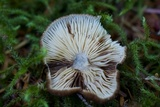 Lactarius fallax var. concolor image