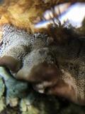 Globifomes graveolens image