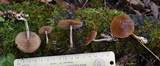 Agrocybe firma image