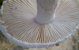 Amanita longipes image