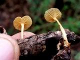 Gerronema subclavatum image