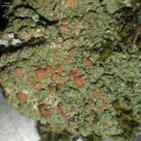 Bacidina californica image
