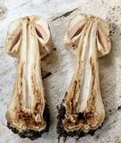 Agaricus kriegeri image