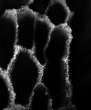 Trichaptum byssogenum image