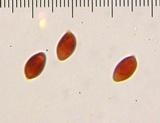 Leucoagaricus rubrotinctus image