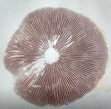 Psathyrella conissans image