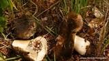 Russula eccentrica image