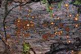 Scutellinia setosa image