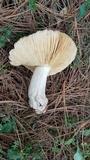 Russula cyanoxantha image
