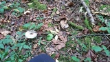 Agaricus deardorffensis image