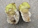 Calvatia craniiformis image