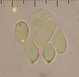Amanita pubescens image