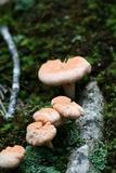 Cantharellus velutinus image