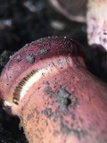 Chroogomphus pseudovinicolor image