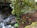 Armillaria solidipes image