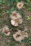 Syzygites megalocarpus image