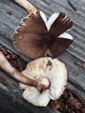 Leucoagaricus flammeotinctoides image