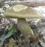 Boletus variipes image