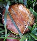 Suillus weaverae image