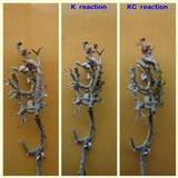 Cladonia crispata image
