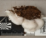 Crepidotus nephrodes image
