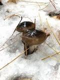 Hygrophorus fuligineus image