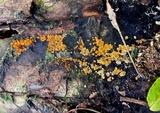 Orbilia xanthostigma image