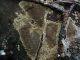 Phellinidium ferrugineofuscum image