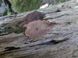 Phellopilus nigrolimitatus image