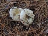 Russula perlactea image